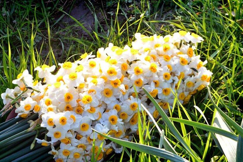 مزرعه گل نرگس در مازندران