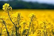 ۱۳۰۰ هکتار زمین زراعی در همدان زیر پوشش کشت دانههای روغنیاست