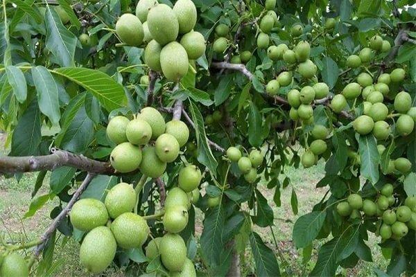 سرشاخه کاری ۵۶۰ هکتار باغ گردو در آذربایجان شرقی