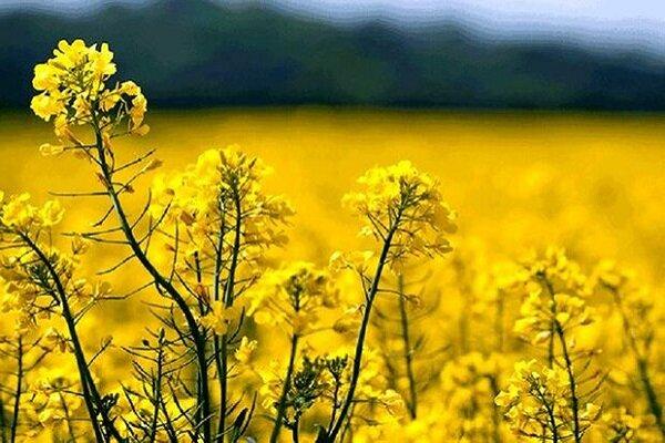 کاشت و برداشت محصولات پائیزه بزرگترین فعالیت اقتصادی خوزستان است