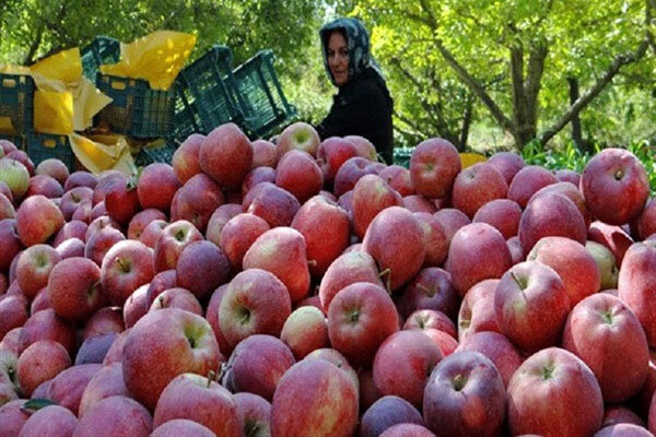 آغاز برداشت سیب تابستانه از باغ های مراغه