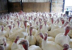 سالانه ۱۵۰۰ تن گوشت بوقلمون در لرستان تولید میشود