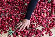 یکهزار هکتار اراضی کشاورزی سیستان و بلوچستان زیر کشت چای ترش