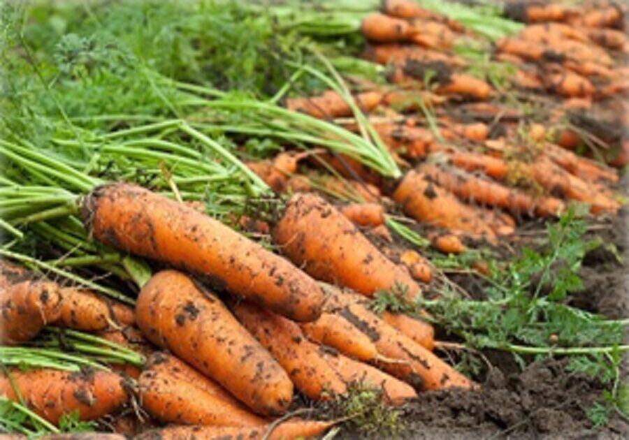 قیمت هر کیلوگرم هویج به ۲۷ هزار تومان رسید| کاهش تولید، افزایش تقاضا و صادرات