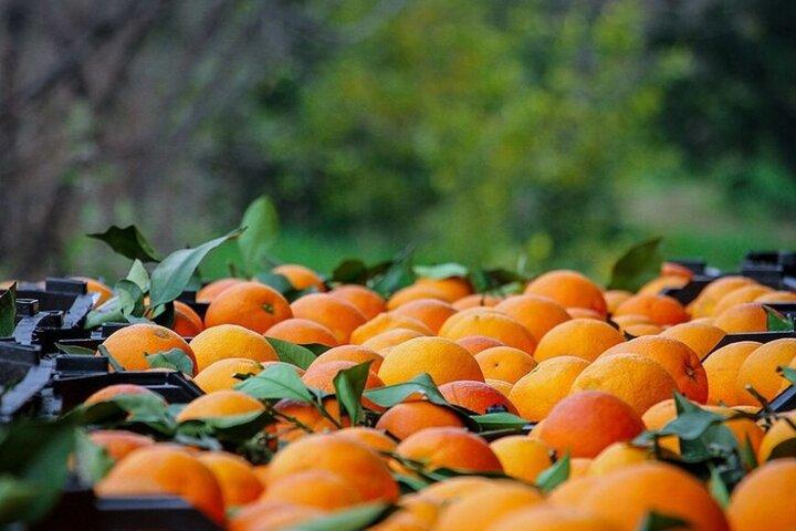 پرتقال ویژه شب عید از ۲۵۰ باغدار مازندران خریداری شده است