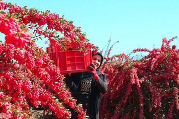 تیغِ کاری یاقوتهای سرخ بر دل کشاورزان | دلالان از آب گل آلود زرشک می گیرند