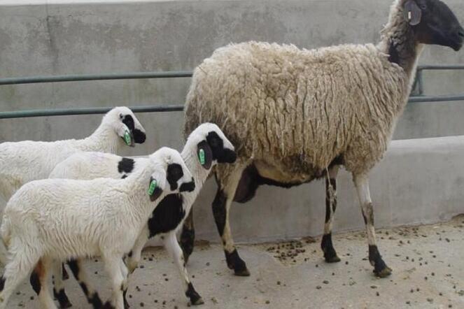 ۵ قلوهای قوچ افشار برای نخستین بار در ایران متولد شدند