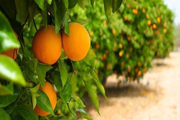 پیچش عطر نارنج در باغات طبس/ افزایش ۲۱ تنی برداشت مرکبات