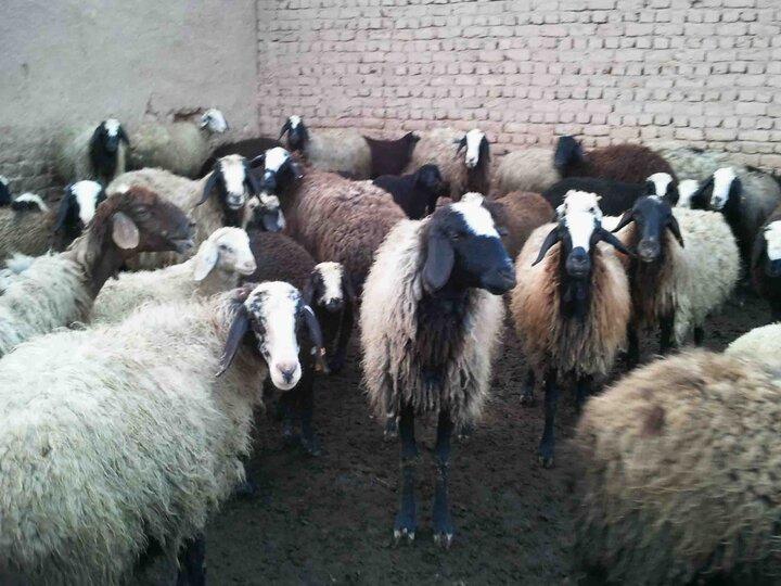 هر عشایری گوشت قرمز ۱۶ ایرانی را تولید می کند