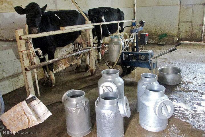 ماهانه ۹۵ تن شیر به روش سنتی در سیستان و بلوچستان تولید میشود