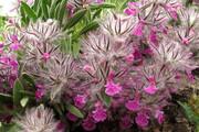 زنجان ۱۲۰ نوع گونه گیاه دارویی دارد