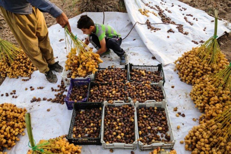خسارت شدید طوفان به خرمای جنوب کرمان  نخلداران شرق استان هوشیار باشند