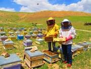 ۲۱۹ هزار کلنی زنبور عسل در کهگیلویه و بویراحمد وجود دارد/ بیشترین تولید عسل در بویراحمد
