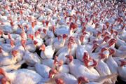 ۷۰ درصد گوشت بوقلمون گیلان به تهران ارسال می شود