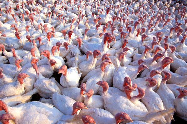 فعالیت بزرگترین زنجیره تولید گوشت بوقلمون زنجان با توان تولید ۸ هزار و ۵۰۰ تن