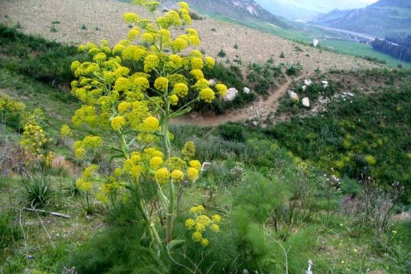 بی مهری بانک ها به  گیاهان دارویی  به رغم تکالیف قانونی