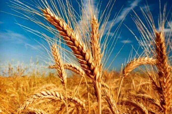 گندمزارهای مازندران افزایش یافت/ کاهش کشت کلزا