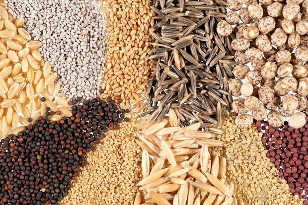 ۹ هزار و ۹۹۵ تن بذر گندم و جو در مزارع قزوین تولید میشود