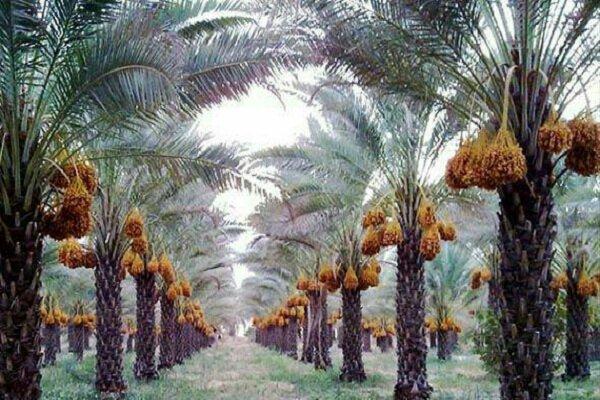صنعت خرما و نخیلات در استان بوشهر مکانیزه شود