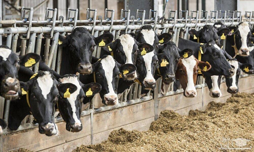 فشار قیمت نهاده و دلالی بر صنعت دامپروری؛ زیرساختهای تولید گوشت تهدید میشود