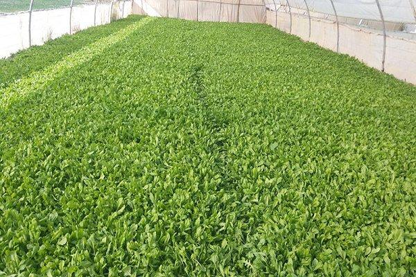 ۳۲۱ هزار تن انواع سبزیجات در سیستان و بلوچستان تولید میشود