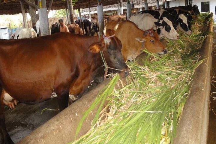 گردن دامداران زیر تیغ دولت و صنایع لبنی/ کارخانجات، شیرها را پس می زنند