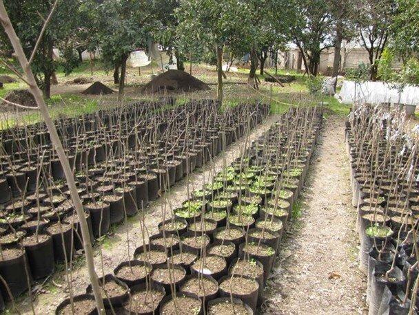 تولید سالانه ۳میلیون اصله نهال استاندارد در نهالستانهای قزوین