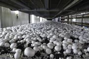 یک هزار تن قارچ دکمهای به صورت خانگی در چهارمحال و بختیاری تولید میشود