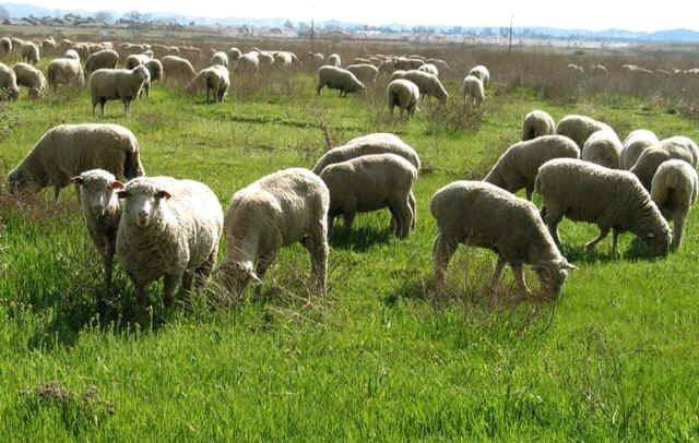 خشکسالی حضور غیرمجاز دامداران را در مراتع خراسان شمالی افزایش داد