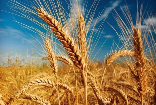 گندم استان مرکزی با کاهش سِن زدگی همراه است