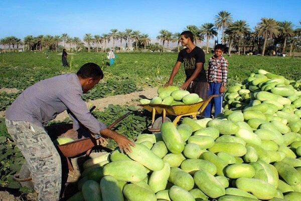 برداشت هندوانه خارج از فصل در قصرقند آغاز شد