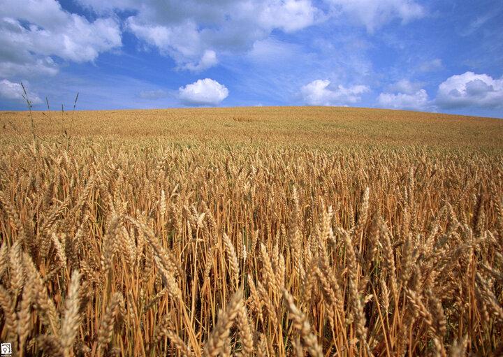 واردات گندم بیش از ۳۵ هزار درصد بیشتر شد