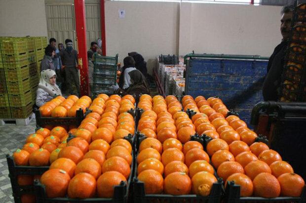 برداشت شبانه مرکبات به طمع صادرات/ سرنوشت کیوی در انتظار پرتقال