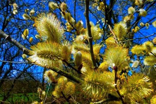 برداشت سالانه هزار تن گل تر بیدمشک از باغات آذربایجان غربی