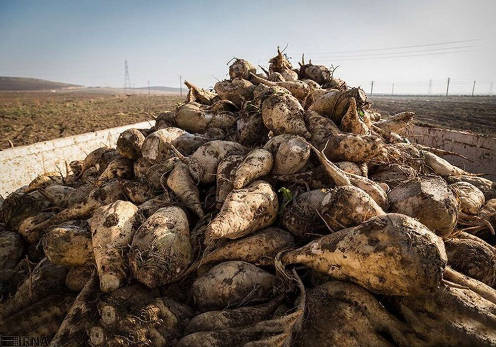 افزایش قیمت خرید تضمینی چغندر قند در سال زراعی جاری