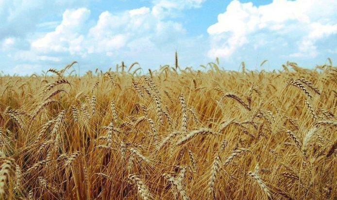 پیشبینی تولید ۱۴ میلیون تن گندم در سال زراعی جاری