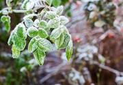 سرمازدگی گسترده گلخانه ها در جنوب کرمان