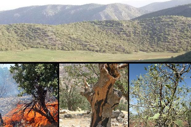 آتش همچنان در کمین جنگلهای کردستان| مهار حریق با دستانی خالی