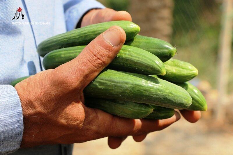 آغاز برداشت محصول خیار از مزارع کشاورزی همدان
