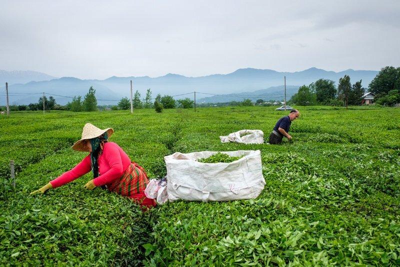تولید ۸۰۰۰ تن چای خشک ایرانی در شمال