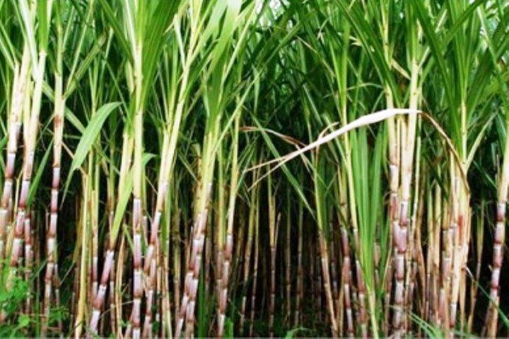 تولید شکر در خوزستان افزایش یافت/ ضرورت مقابله بیولوژیکی با آفات