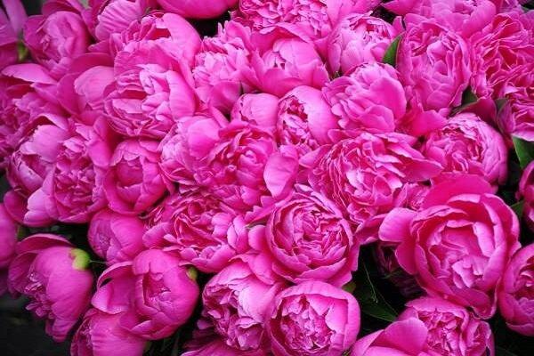 ۱۲۴ تن گل محمدی درزنجان تولید شد/ پرداخت یارانه تهیه نهال