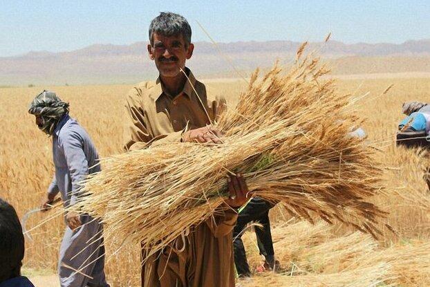 تولید گندم در استان ایلام ۲ برابر شده است