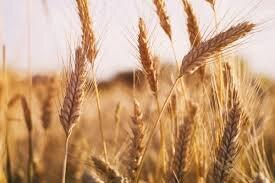 ۵۸ هزار هکتار از اراضی کشاورزی چهارمحال بختیاری به کشت گندم اختصاص یافت