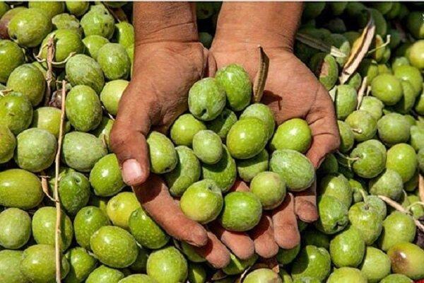 صنایع تبدیلی در زنجان اولویت برنامه برای جذب سرمایهگذار است/ ضرورت رعایت استانداردهای جهانی در تولید زیتون
