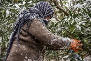 احتمال سرما زدگی محصولات کشاورزی در زنجان/ لزوم انتقال دام ها به مکان های مناسب