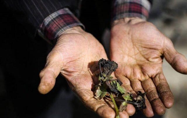 کشاورزان جنوب کرمان ورشکست شدند