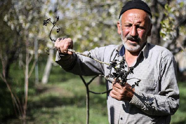 «سرمازدگی» کشاورزی شهریار را زمینگیر کرد؛ عدم تمایل کشاورزان به بیمه محصولات