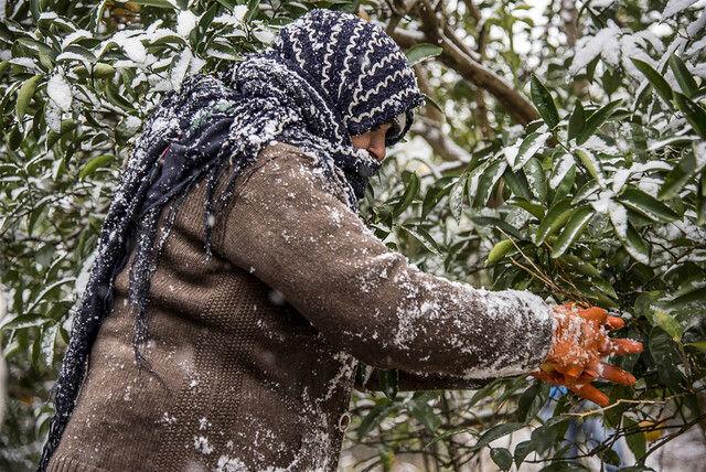 خسارت ۲۰۰ میلیاردی سرمازدگی به محصولات کشاورزی اصفهان