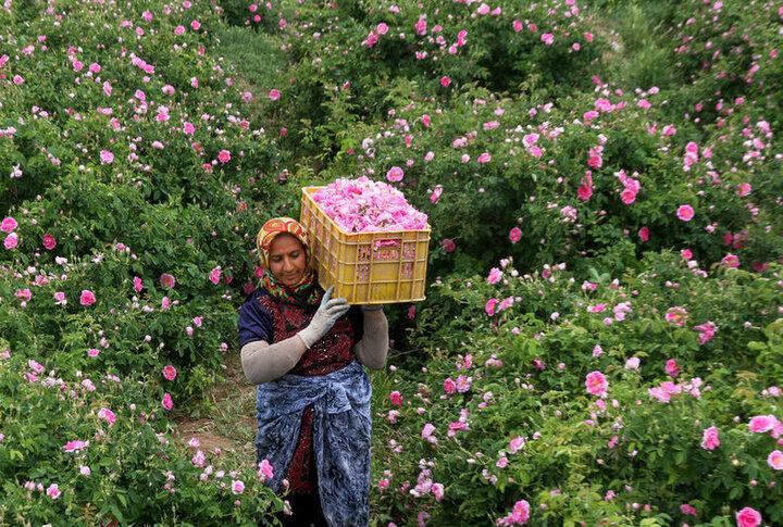 پیش بینی برداشت ۴۵۰ تن گل محمدی در استان همدان